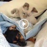 Ce chat est bien décidé à ne pas laisser son copain chien dormir !!! (Vidéo du jour)