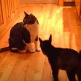 Un cabri rencontre un chat pour la première fois : 4,5M de spectateurs sont scotchés devant leur écran