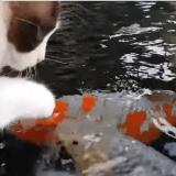 Quand un chat sympathise avec un poisson plus gros que lui ! (Vidéo du jour)