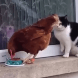 Un improbable déjeuner en tête à tête entre un chat et une poule ! (Vidéo du jour)