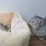 Un chat s'approche du panier des chatons : 7 millions de personnes sont fascinées par ce qu'il fait ensuite (vidéo)