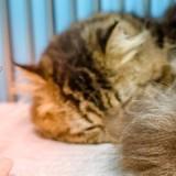 Fièvre chez le chat : comment savoir s'il en a et comment la faire baisser ?