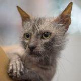 Découvrez le Lykoi, une race de chat-garou d'une beauté déconcertante