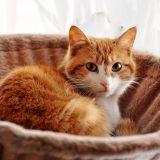 Comment un chat a t-il pu attraper la grippe A ?