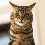 Les chats participeraient à l'émergence de nouveaux coronavirus d'après une étude britannique
