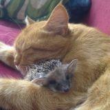 Une chatte adopte une portée de hérissons orphelins (Photos)