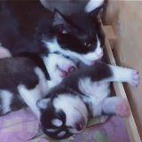 La maman chat et les bébés Huskies (Vidéo du jour)