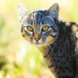 Les Européens sont les chats préférés des Français : découvrez le reste du classement I-CAD !