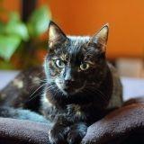 Pourquoi le chat d'intérieur a-t-il besoin d'une alimentation spécifique ?
