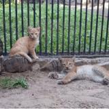 Un chat se prend d'amour pour un lynx rejeté par sa mère