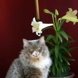 Le Lys de Pâques, une fleur très dangereuse pour les chats
