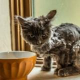 Trouvée à l'article de la mort, cette minuscule chatte s'est totalement métamorphosée