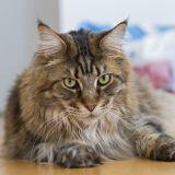 Comment les chats pourraient nous aider à soigner certaines maladies humaines
