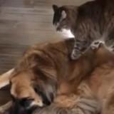 Ce chat adore faire des massages à son copain chien (Vidéo du jour)
