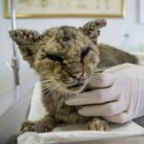 Ils sauvent une chatte dans un état horrible et n'en reviennent pas de sa transformation