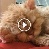 Ces adorables chatons frisés vont vous faire craquer (Vidéo du jour)