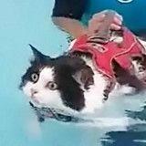 Beaucoup trop gros, ce chat doit nager pour maigrir, et il adore ça ! (Vidéo)