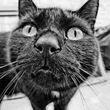 Les chats noirs causent-ils plus d'allergies ?