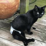 Chaton atteint du syndrome de Manx : sa détermination épate sa nouvelle propriétaire
