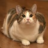 Mon chat est-il obèse ?