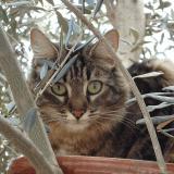 Le chat et les odeurs : le pouvoir euphorisant de l'olivier