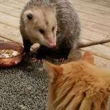 En allant manger, ce chat se retrouve face à un opossum et sa réaction est géniale (Photos)