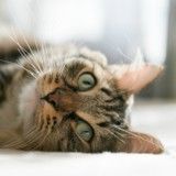 Mon chat perd ses poils : pourquoi et que faire?