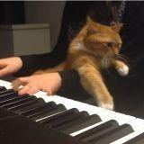 Avez-vous déjà essayé de jouer du piano avec un chat ? (Vidéo du jour)