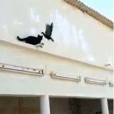 Un chat humilié par un pigeon (Vidéo)