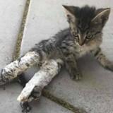 Ils trouvent un chat avec deux pattes dans le plâtre, le verdict du vétérinaire est effrayant