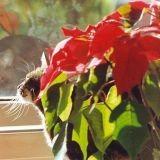Très prisées à Noël, ces plantes sont dangereuses pour votre chat