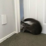 Ce chat a une technique bien à lui pour ouvrir les portes, et cela fait rire tout le monde