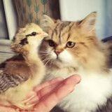 Ce chat adore les bébés poussins (Vidéo du jour)