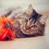 Quelle est l'importance du jeu chez le chat ?