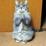 Un chat qui prie pour manger (Vidéo du jour)