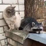 Ce Raton laveur tente tout pour devenir ami avec un chat, mais ce n'est pas une réussite (Vidéo)