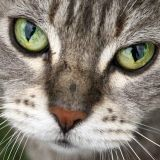 Un chat serait la réincarnation d'une femme !