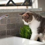 Pourquoi le chat apprécie-t-il l'eau en mouvement ?