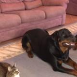 Ce chat ne veut pas être différent de ses frères chiens : il fait semblant d'être un Rottweiler !