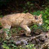 Le tigre de Seine-et-Marne ? Un gros chat !