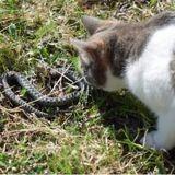 En Inde, un cobra venimeux se fait attaquer… par un chat ! (Vidéo)