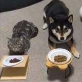 Un chat tente de se faire passer pour un Shiba Inu et il réussit presque (Vidéo)