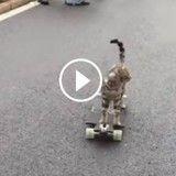 Incroyable ! Ce chat fait du skate comme un pro !