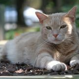 Les chats craignent-ils la chaleur ?