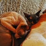 Retour de vacances : quand il regarde son chat Sphynx dans les yeux, il fonce chez le vétérinaire