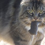 Pourquoi mon chat ramène des souris vivantes !?