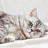 Alerte: la Wallonie rend obligatoire la stérilisation de tous les chats!