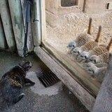 L'étonnante rencontre d'un chat avec un groupe de suricates