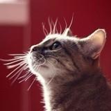5 choses à savoir sur les moustaches du chat