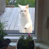 Tous les jours, ce chat rend visite à ses voisins pour une raison bien précise